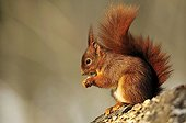 Red squirrel eating in the forest - Ile-de-France France