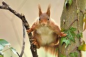 Red squirrel between two trunks - Ile-de-France France