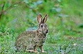 European Rabbit - Bois de Boulogne Paris France