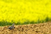 Red-legged Partridge plowed field and Rape-Burgundy France