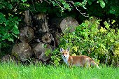 Red fox near the forest - Burgundy France