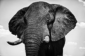 Portrait of African Elephant - Chobe Botswana