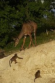 Great Kudu female and Chacma Baboons - Botswana