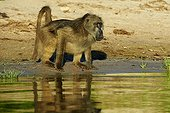 Chacma baboon drinking on bank at dawn - Chobe Botswana