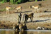 Chacma baboon drinking and Impala on the bank-Chobe Botswana