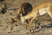 Fighting Impalas young males on the bank - Botswana