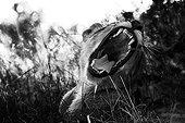 Portrait of Lion male open mouth - Botswana