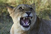 Portrait of aggressive male Lion - Botswana