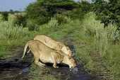 Lionesses drinking from a puddle at dawn - Kalahari Botswana
