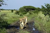 Lioness walking on a track at dawn - Kalahari Botswana