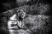 Lion walking on a track at dawn - Kalahari Botswana