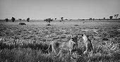 Lionesses sniffing the air in the plain - Kalahari Botswana