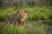 Sub adult male lion in the tall grass - Kalahari Botswana