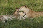 Lioness and cub licking in the grass - Okavango Botswana