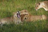 Lioness and cub lying in the grass - Botswana Okavango
