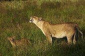 Lioness sniffing the air and cub in grass-Botswana Okavango
