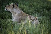 Lioness sniffing the air and cub in grass-Botswana Okavango  ; cub emulating her mother