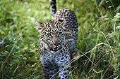 Leopard in the tall grass - Okavango Botswana