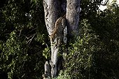 Leopard descending from a tree - Botswana Okavango
