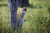 Leopard observing Guinea fowl on tree - Botswana Okavango