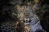 Portrait of female Leopard - Botswana Okavango