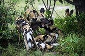 Lycaons break - Botswana Okavango ; alpha male and female