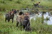 Spotted hyenas and wildebeest carcass - Botswana Okavango