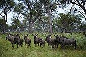 Blue wildebeest alarm in the forest - Botswana