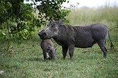 Warthog and her young - Botswana