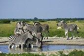 Burchell's zebras - Kalahari Botswana
