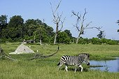 Burchell's zebra at the watering - Botswana
