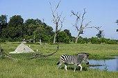 Burchell's zebra at the watering - Botswana
