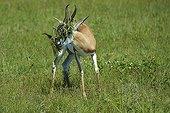 Springbok with foliage on the head - Botswana