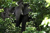 African Elephant in the forest - Moremi Botswana