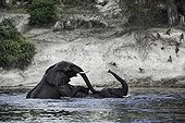 African Elephants playing in the Chobe river - Botswana