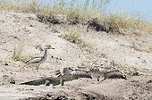 Spotted thick-knee and Nile Monitor - Chobe Botswana