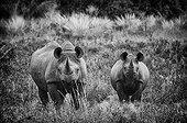 Black rhino and young - Concession Palmwag Namibia