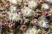 Crystalline Iceplant blossoms - Lanzarote Canary Islands