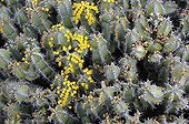 Flowering spurge polyacantha - Lanzarote Canary Islands