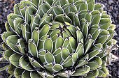 Rosette of Agave Victoria - Lanzarote Canary Islands