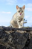 Cat grooming on rock - Lanzarote Canary Islands