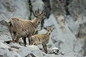 Alpine Ibex female and young - Alps Valais Switzerland ; Yearling