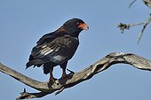 Bateleur Eagle on a branch - Masai Mara Kenya