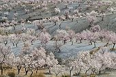 Cultivated almond trees in full blossom - Andalusia Spain