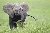 Young Elephant eating in the savanna - Masai Mara Kenya