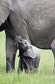 Jeune Eléphant mangeant dans la savane - Masaï Mara Kenya