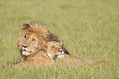 Lion couple lying in the bush - Masai Mara Kenya