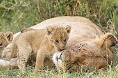 Lioness and cubs lying in the grass - Masai Mara Kenya