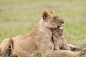 Lioness and cub lying in the grass - Masai Mara Kenya