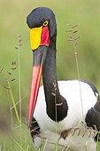 Portrait of Saddle-billed Stork - Masai Mara Kenya